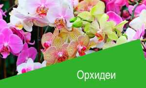 Актара для орхидей